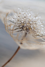 A Fluffy Dandelion With Drops Of Water Hung In The Air