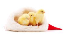 Three Chicks In Christmas.