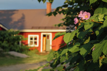 Picturesque Red Wooden House In Finnish Countryside With Blooming Bush And Pink Flowers Of Garden, Summer Evening