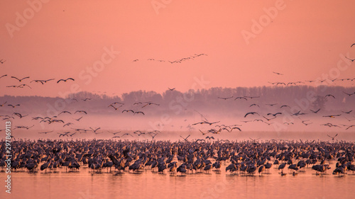 Foto auf Gartenposter Koralle Beautiful photography of a huge flock of birds. Common Cranes (rus grus).