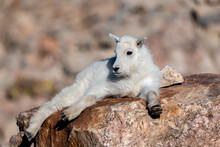 Mountain Goat Kid Lounging In ...