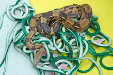 Green Feather Snakes. A Snake ...