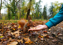 Squirrel. Funny Red Squirrel E...