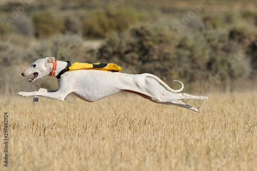Photo Flying Greyhound