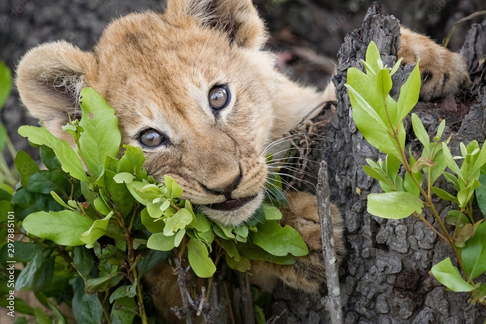 Fototapeta Closeup shot of a baby lion laying on a tree looking at the camera