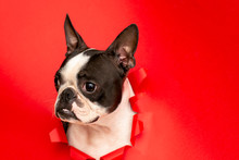 Dog Breed Boston Terrier Sticks His Muzzle In A Paper Hole Red. Creative. Art.