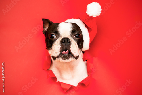 Foto auf Leinwand Französisch bulldog The head of a Boston Terrier dog looks through a hole in red paper and wears a Santa hat.Creative. Minimalism. The concept of a New year.Creative art.