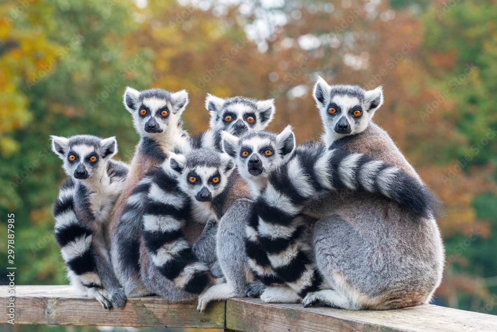 Fototapeta A group of resting lemurs katta