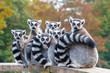 canvas print picture - A group of resting lemurs katta