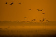 Beautiful photography of a huge flock of birds. Common Cranes (rus grus).