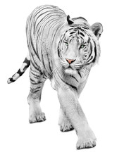 Majestic White Tiger Isolated ...