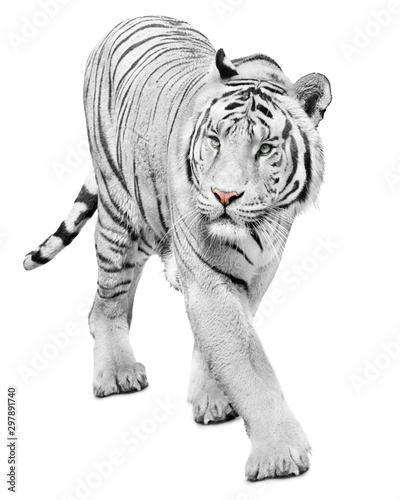 Photo sur Toile Tigre Majestic white tiger isolated on white background