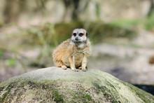 Female Meerkat Sits On Rock