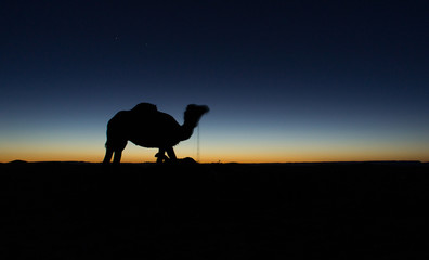 silhouette of camel at sunset in sahara desert in morocco