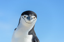 Chinstrap Penguin On The Beach...
