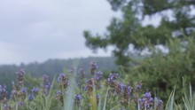 Natural Summer Landscape Of The Green Field With Purple Flowers On Blue Cloudy Sky And Green Tree Background. Stock Footage. Soft Lilac Flowers Swaying In The Wind.