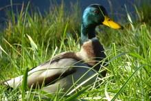 Male Mallard In The Grass