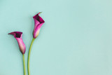 Beautiful violet calla lilies on turquoise background.