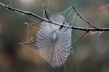 Spider Web On Tree Twig