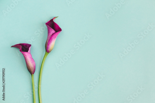 Fotografie, Obraz Beautiful violet calla lilies on turquoise background.