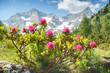 Alpenrosen in den Zillertaler Alpen mit Gletscher im Hintergrund