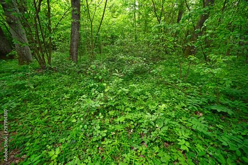 Foto auf Gartenposter Grun unberührter Wald mit Krautschicht im Nationalpark Polesie, Polen - forest in Polesie National Park, Poland