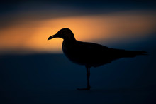 A Laughing Gull Silhouetted On...
