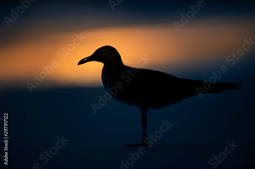 Canvas Prints Bird A Laughing Gull silhouetted on the beach with a deep blue background and a bright spot of orange sunlight reflecting on the wet sand.
