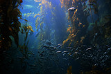 swimming around in kelp forest