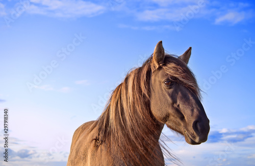 Portrait (head) of semi-feral Konik Polski horse during the sunset. Blue sky with some clouds at the background. Copy space.