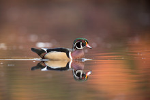 A Male Wood Duck Swims On Calm...