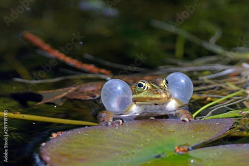 Recess Fitting Frog Pool frogs (Pelophylax lessonae) - Kleiner Wasserfrosch (Pelophylax lessonae)