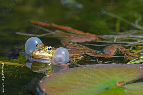 Canvas Prints Frog Pool frog (Pelophylax lessonae) in Polesie National Park, Poland - Kleiner Wasserfrosch (Pelophylax lessonae) im Nationalpark Polesie, Polen