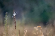 An Eastern Phoebe Perched In The Rain On A Late Season Mullein Stalk In A Wide Open Field.