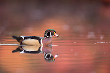 A Male Wood Duck Swims On Calm Water With Its Reflection And A Smooth Background Of Autumn Colorful Leaves.