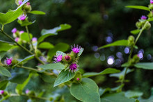 Lesser Burdock With Pink Flower