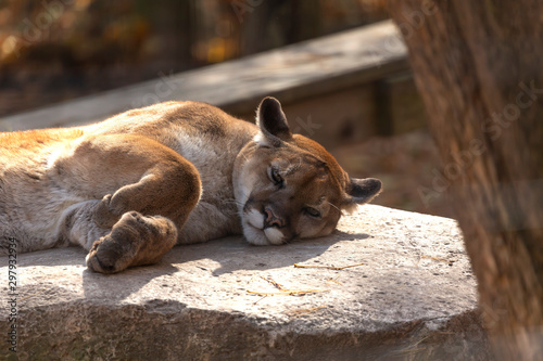 Poster Puma Young cougar (Puma concolor) ,known as Mountain lion in the ZOO.