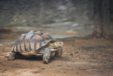 African spurred tortoise / Close up turtle walking