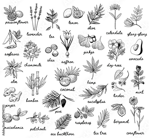 Fotografia  Ink vector vintage illustration whit plats used in cosmetic, medicine and aromatherapy