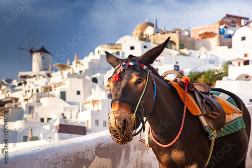 Fototapeta donkey portrait in Santorini, Greece