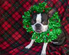 Boston Terrier With Christmas Wreath Around Next And Red Plaid Background