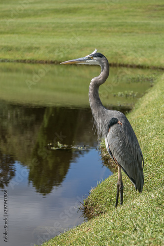 Great Blue Heron near a pond. #297947966
