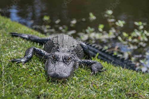 Small alligator resting and warming up on grass near water. #297947984