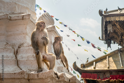 Monkey living in Swayambhunath temple (other name called Monkey temple) this place is one of the holiest Buddhist temple in Kathmandu, Nepal.