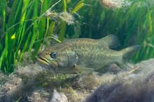 A Large Largemouth Bass (Micro...