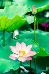 FototapetaLotus flower and Lotus flower plants