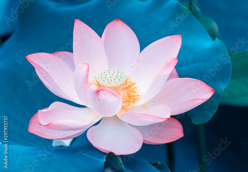 Photo Stands Lotus flower Lotus flower and Lotus flower plants