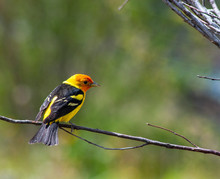 Western Tanager On A Branch In...