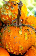 Warty Pumpkins, Known As Knuckleheads, Are On Display In A Pumpkin Patch. Knucklehead Pumpkins Are A Hot Trend Because They Make Spooky And Ghoulish Jack O'lanterns.