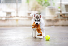 Siberian Husky Puppy Gray And ...